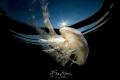 Compass jellyfish(Chrysaora hysoscella), Zeeland, The Netherlands.