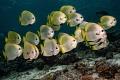 Albino batfish shoal.