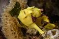 Juvenile frog fish