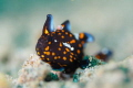 Juvenile Clown Frogfish shot with f/2.8 to create a nice blurry effect, sharply emphasizing the polka dots and eye.