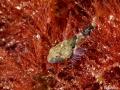 Young zeedonderpad, Enophrys Bubalis