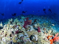 Diving in Elphinstone reef