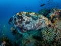 Guess who's back? ...   Malabar Grouper - Epinephelus malabaricus  Sail Rock, Thailand