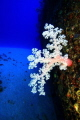 Soft coral grows on the hull of the Jebedah shipwreck Mauritius.35metres