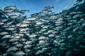Jackfish shoal under surface.