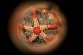 Fromia monilis.