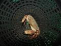 Edible crab on shrimp pot - Picture taken in Bantry Bay, Ireland.