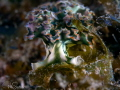 less than 2cm Lettuce Leaf sea slug - smallest I have ever seen.  I managed to get both eyes on this image as well!