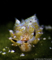 Juvenile Sheep Nudibranch (approx. 3mm)