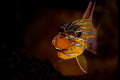 Male cardinalfish brooding eggs