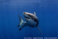 There was something that caught this Great Whites attention. Beautiful sharks     