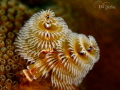 Sometimes you have to stop and take the image of a Christmas Tree worm   just because they are so danged pretty   This is uncropped.