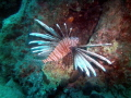 LION FISH MARMARIS TURKEY