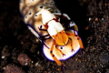 A good example of a relationship between the Imperial Shrimp and a large nudibranch. The shrimp will ride on the nudibranch, receiving transportation, getting exposed to larger areas with more potential food sources while using less energy.