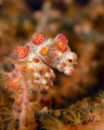 There is something very cute about Pygmy seahorses. This one was tricky to shoot because it was constantly moving.