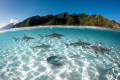Sharks and rays cruising in the lagoon of Moorea