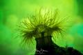 Small snakelocks anemone (Sagartiogeton undatus), Zeeland, The Netherlands