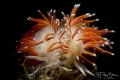 Slender eolis (Flabellina gracilis), Zeeland, The Netherlands