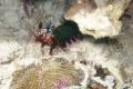 Mantis Shrimp in its environment