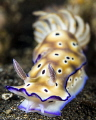 Hypselodoris TRION'S RISBECIA named chanched in Hypselodoris tryoni.