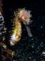 Shy seahorse Lembeh