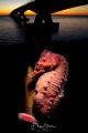 A short snouted seahorse  Hippocampus hippocampus under the Zeeland bridge. Double exposure  Oosterschelde  The Netherlands.