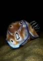 Nudibranch Chromodoris sp. on a hard coral