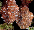 Recently rediscovered Psychedelic Frogfish. A pair discovered under a coral head at 30 feet.