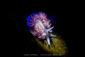Spotlight - A coral nudibranch with snooted Inon Z240 and blue snoot torch