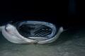 Manta feeding, night dive Maldives