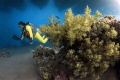 Yellow diver in the Red Sea.