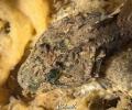 Young (Groene zeedonderpad) , Enophrys Bubalis