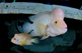 couple cichlids (cichlasoma citrinellum)in suitcase of car wreck @ Todi/Belgium