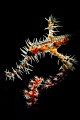 Ornate ghost pipefish.