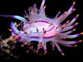 Flabellina rubrolineata Circle