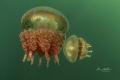 jellyfish lake classics