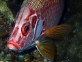 Sabre Squirrelfish Head on!