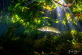 Pike under the trees, pond of Ekeren, Belgium