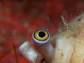 Strombus persicus Cross-eyed snail in a conus