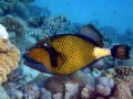 A Giant Triggerfish in the waters of the Red Sea off Egypt