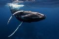 Humpback whale @ Silverbank