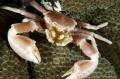 Porcelain Crab close up