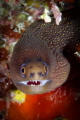 Goldentail Moray smiles for the camera
