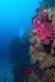 coloured gorgonians , Ustica Island