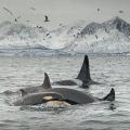 Orca pod, Spildra, Norway