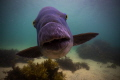 Blue Groper intent on getting it s portrait taken.