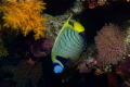 Another fav. fish  the Emperor Angelfish. Osprey reef Aus. Nikon D 70  20mm lens   2x Sea   sea ys120 strobes.