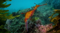 Weedy Sea Dragon