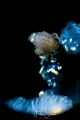 Big eye amphipod  Hyperia galba living inside a Compass jellyfish Chrysaora hysoscella