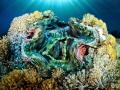 Giant Clam  tridacna derasa